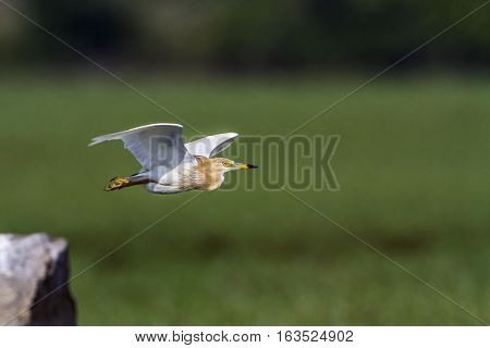 Indian pond heron in Arugam bay lagoon, Sri Lanka ;specie Ardeola grayii family of ardeidae