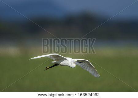 Little egret in Arugam bay lagoon, Sri Lanka ;specie Egretta garzetta family of ardeidae