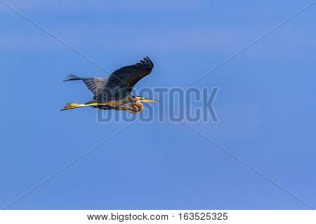 Purple heron in Arugam bay lagoon, Sri Lanka ;specie Ardea purpurea family of Ardeidae
