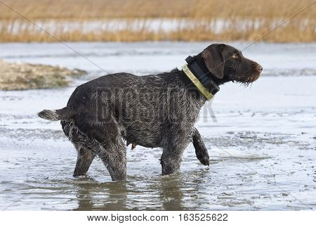 A duck hunting dog standing in ice covered water