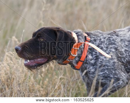 A German Wirehaired Pointer on point during a pheasant hunt