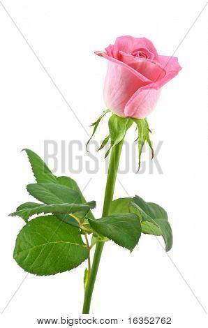 Pink rose geïsoleerd op wit