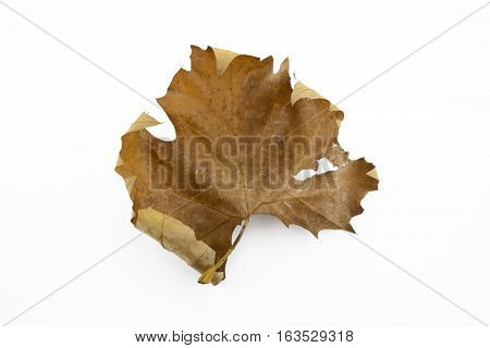 Up view on Fallen maple leaf on white background