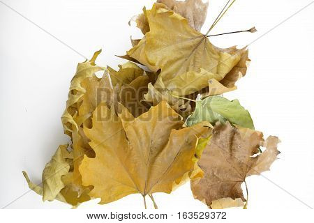 Up view of fallen maple leaves on white background