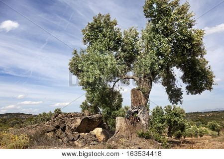 Olive tree close to way to Beceite. Spain