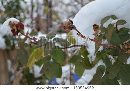 rose with snow cap in the snow in winter