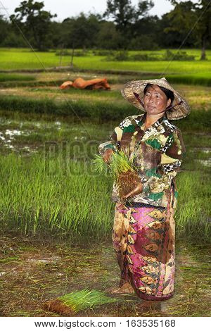 SON KHON-JULY 31 2009. During the monsoon season farmers in southern laos can harvest rice. The farmer is smeared by mud in Don Khon, Laos on July 31, 2009