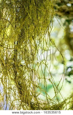 Hanging moss - masses of fine structures hanging down like hairs in a backlit setting. High resolution and shallow depth of field image.