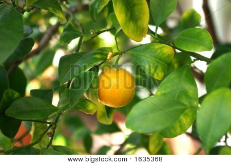 Miniature Orange On Tree