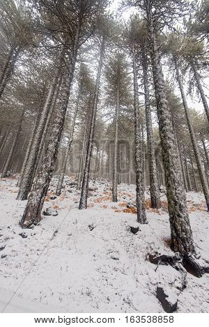 Winter forest landscape with fresh snow on the ground at Troodos mountains in the island of Cyprus