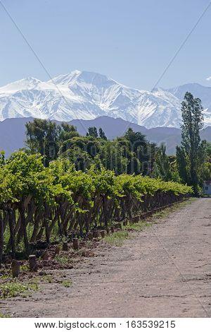 Andes & Vineyard, Lujan de Cuyo, Mendoza