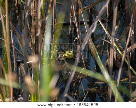 American Bullfrog in the Grass in Delaware County Park in Central Ohio