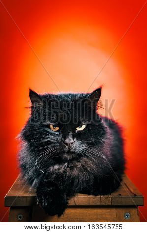 dirty black cat posing for photos on a red background