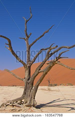 Acacia tree at Deadvlei in Namib-Naukluft National Park, Namibia