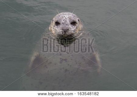 Harbour seal looking happy in the ocean