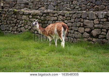 Lama on the grass in Peru, South America