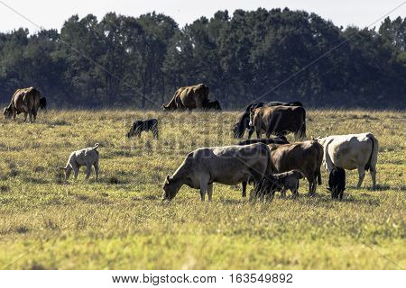 Herd of commercial cows and calves in a brown dormant pasture