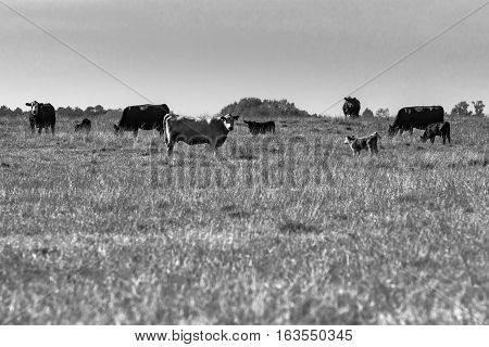 Commercial cows in a pasture with blank area in the foreground - black and white photography