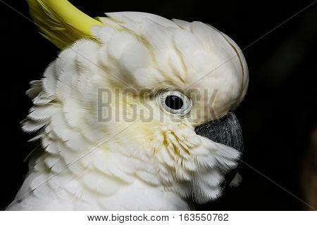 Portrait of sulphur-crested cockatoo (Cacatua galerita) against dark background