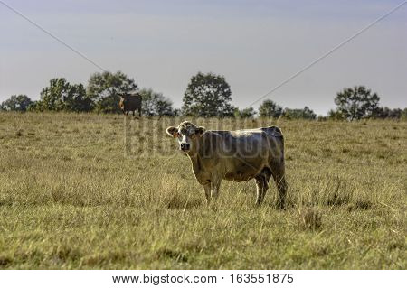Two commercial crossbred beef cows in a November pasture