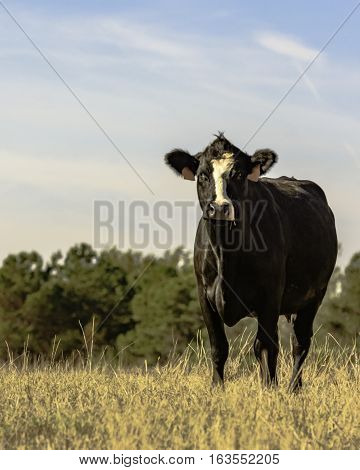 Black and white crossbred Angus brood cow in vertical format
