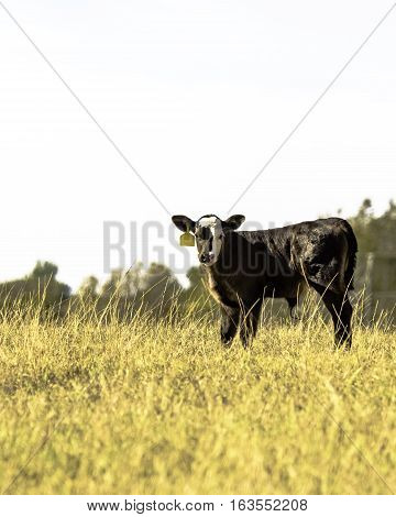 Black Angus crossbred calf in a field of tall grass - vertical format
