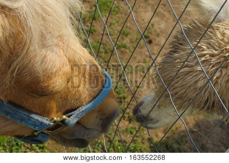 Here we find a small pony and a baby llama exchanging kisses through the fence.