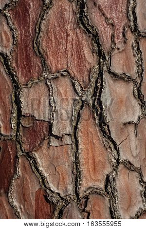 Pine-tree bark texture background. wooden back, nature