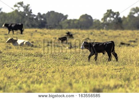 Angus crossbred calf walking in a brown pasture with herdmates in the background