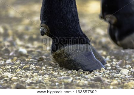 Close up of a hoof of a black Angus cow