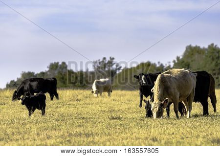 Herd of beef cows and calves grazing in a dormant bermuda grass pasture