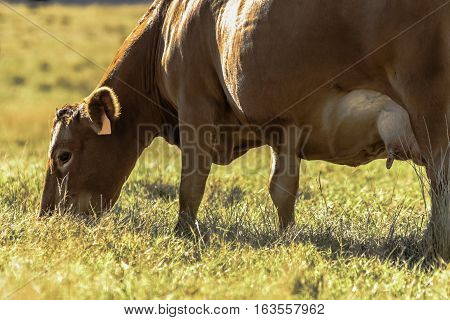 Close up of red commercial beef cow grazing on dry brown grass
