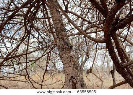 Trunk with dry creeper in the background