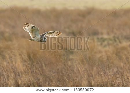Short-eared Owl hunting across Pevensey Levels East Sussex cropped version.