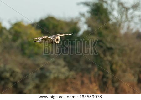 Short-eared Owl hunting over East Sussex Countryside