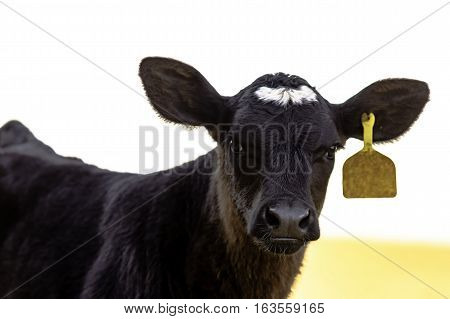 Black Angus crossbred calf looking into the camera
