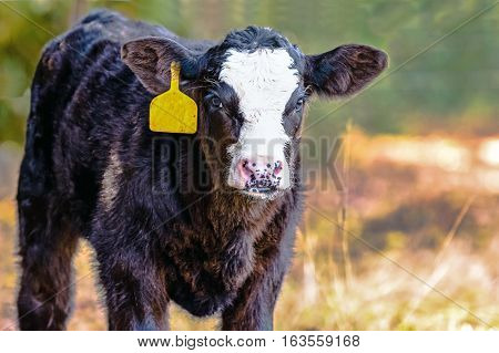 Black-baldy Angus crossbred calf with a yellow ear tag with blurred background and blank area to the right