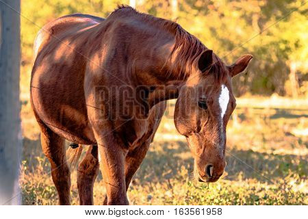 Chestnut gelding with star walking toward the camera with head down