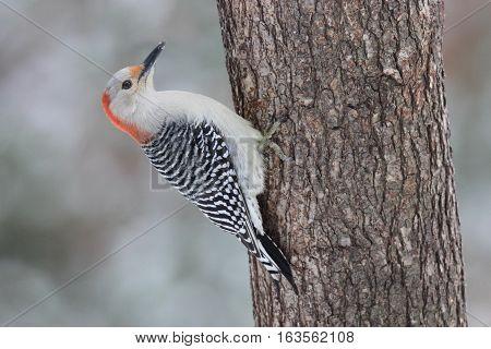 A female red bellied woodpecker Melanerpes carolinus perching on a tree.