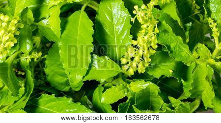 Freshness and vivid green color of basil vegetable