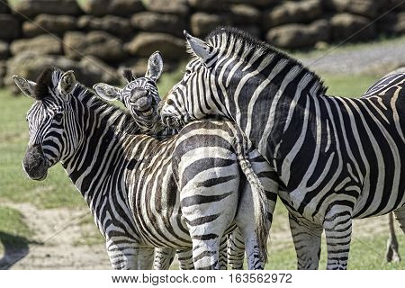 A fun animal image of a family of chapman's zebra. Mum dad and a goofy young zebra photobombing in the middle.