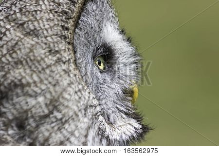 Close up of the face of a great gray (grey) owl (Strix nebulosa) in profile. The stereotypical wise old owl in contemplation. Natural copy space makes this a useful poster image.