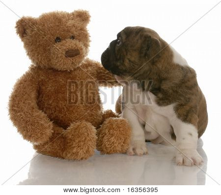 best friends - english bulldog puppy being comforted by teddy bear