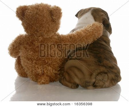 best friends - english bulldog puppy sitting beside bear