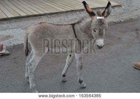 Wild burros roam the old mine town of Oatman, Arizona