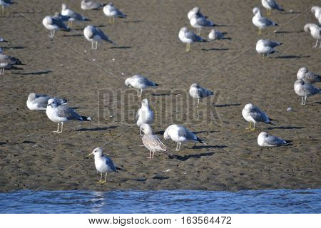 Flock of seagulls searching for food during low tide at a reserve in Southern California