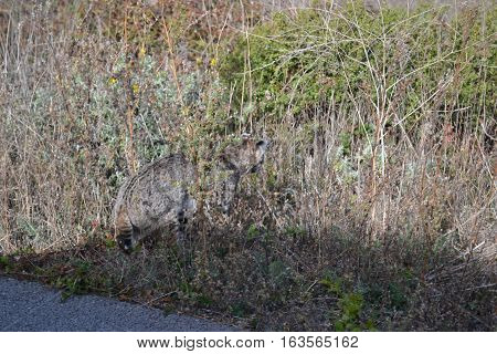 Bobcat rushing into the high grasses seen in northern California