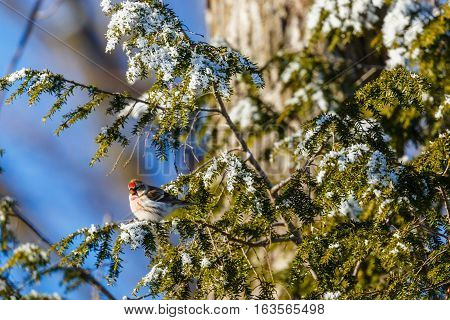 Common Redpoll (Carduelis flammea) perched in a pine tree.