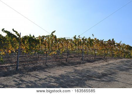 A vineyard in Northern California's Sonoma valley just after sunrise in mid fall