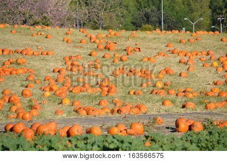 Pumpkins cover the hillside during fall pumpkin patches mainly used for halloween
